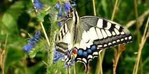 Machaon04