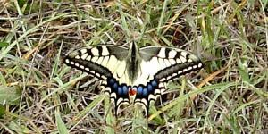 Machaon06