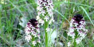 Orchis Brule
